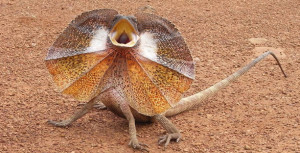 Weird-Wonderful-Animals-Frill-Necked-Lizard