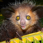 Weird-Wonderful-Animals-aye-aye