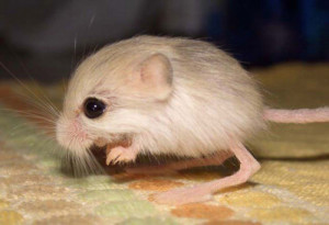 Cutest-Animals-In-The-World-Baluchistan-Pygmy-Jerboa