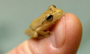Cutest-Animals-In-The-World-Paedophryne-Amauensis-Frog