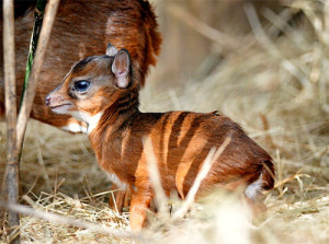 Cutest-Animals-In-The-World-Royal-Antelope