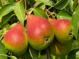 Superfood-For-Losing-Weight-Pears
