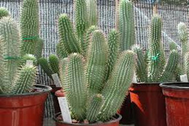 Weight-Loss-Supplements-To-Avoid-hoodia